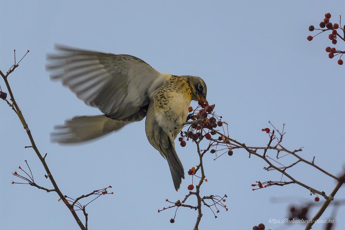 Дрозд притворяется колибри