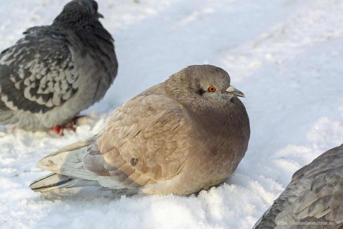 Здоровая птица в городе лучше, чем больная