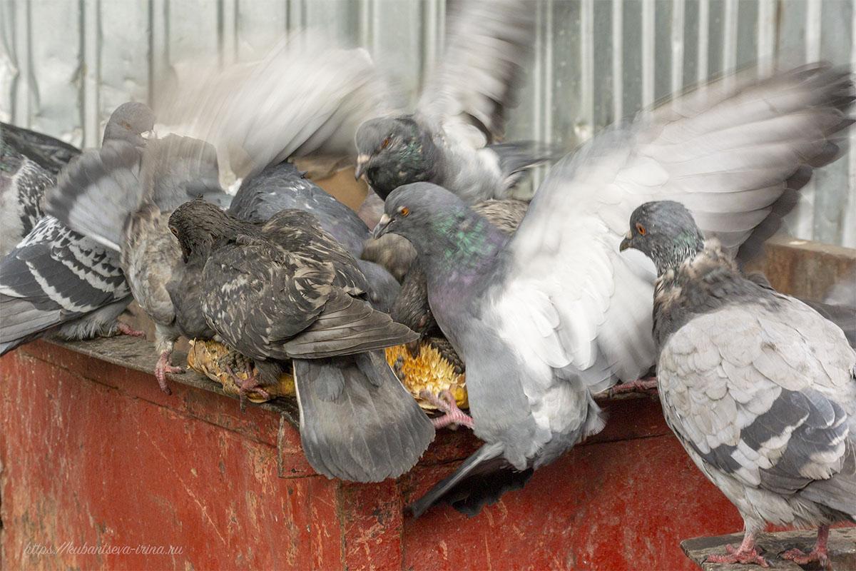 Голуби ищут пропитание на мусорке