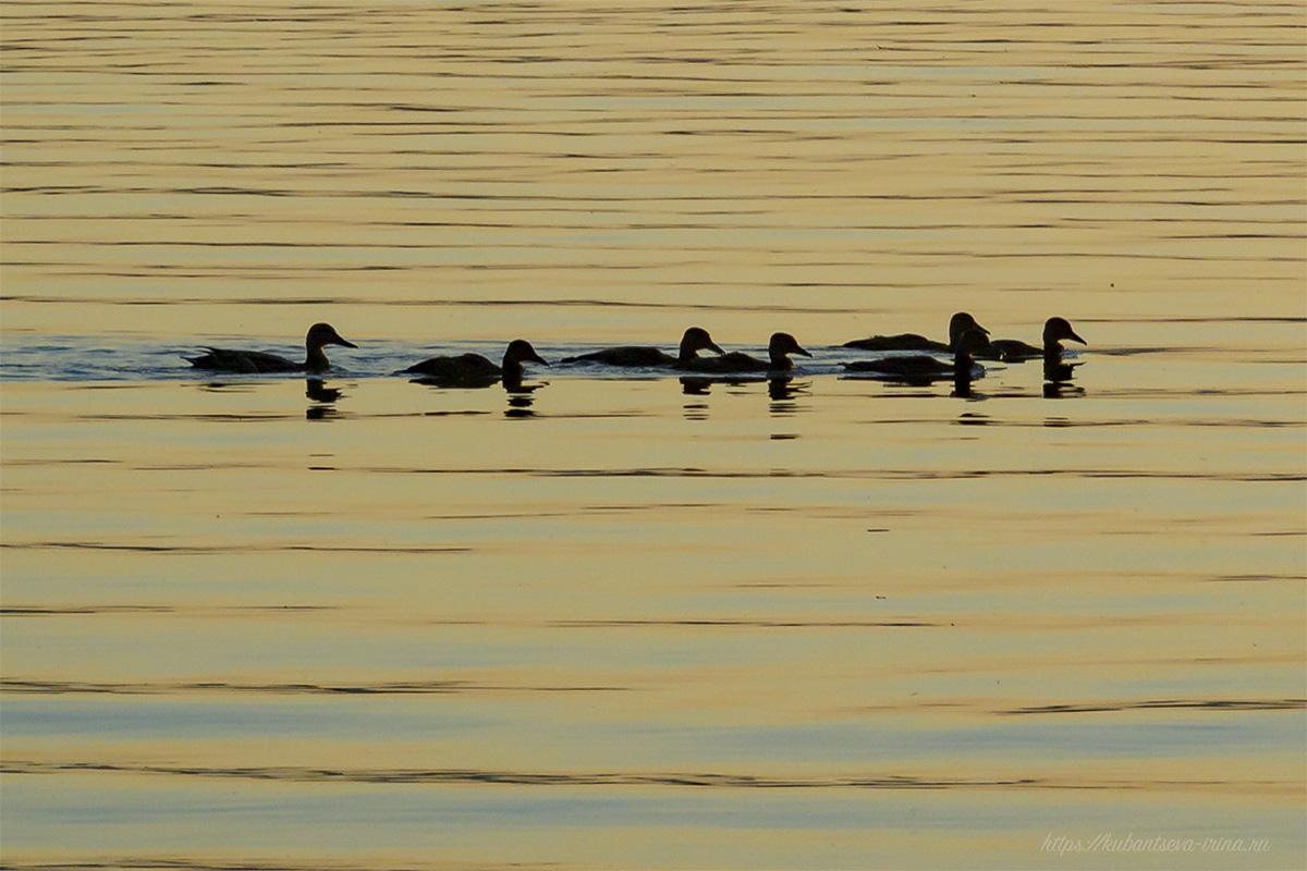 дикие утки на закате фото