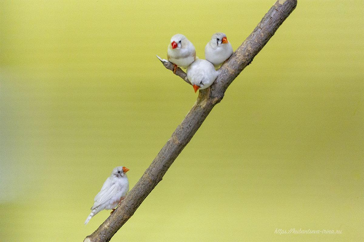 амадины стайные птицы фото
