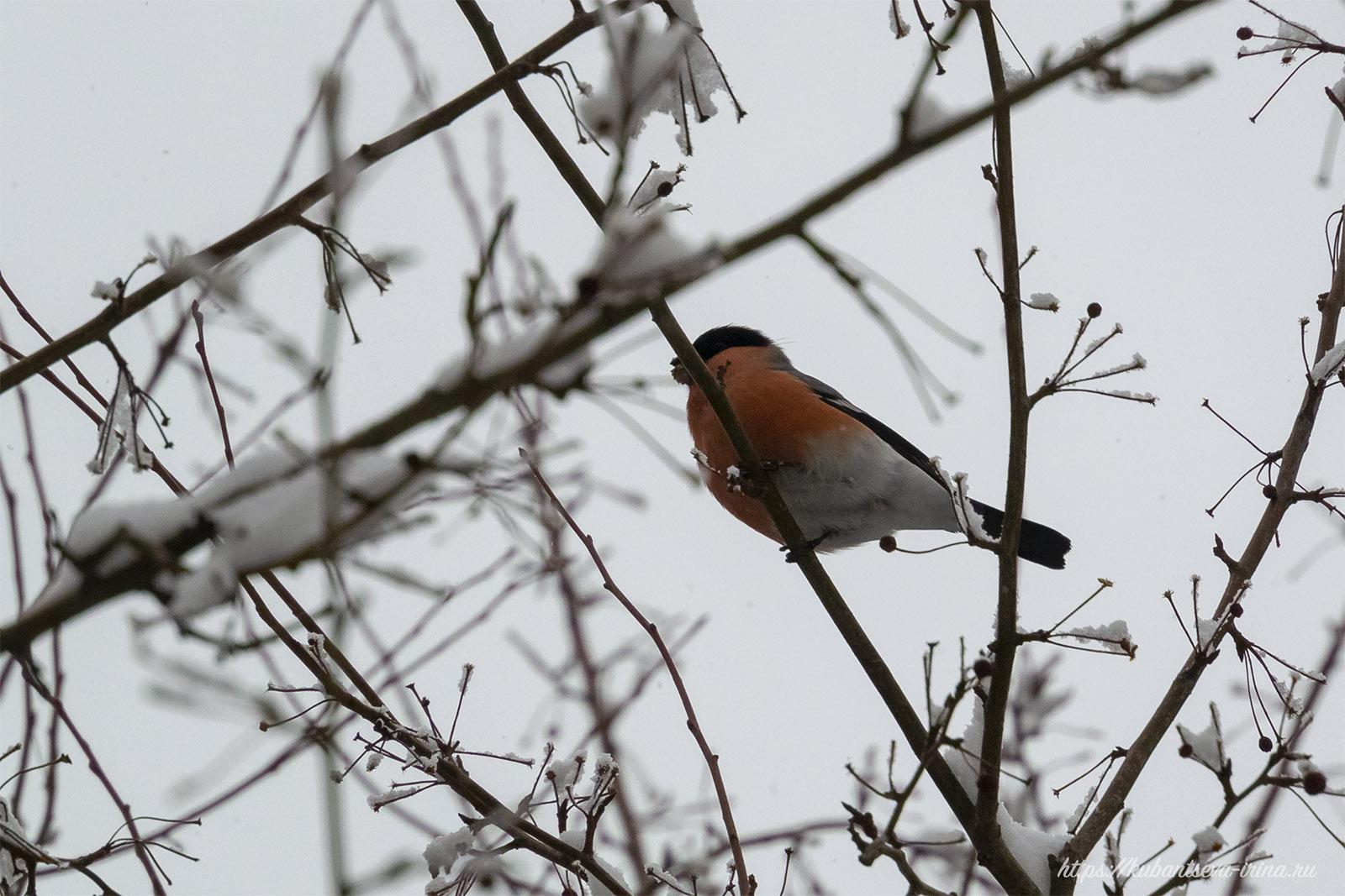 птичка снегирь фото