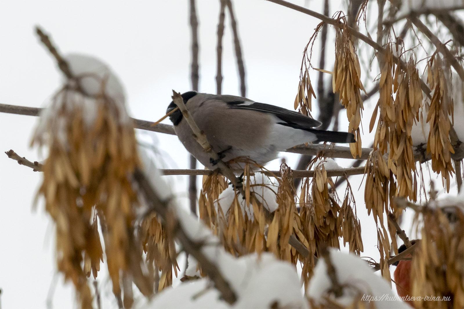 самка снегиря фото