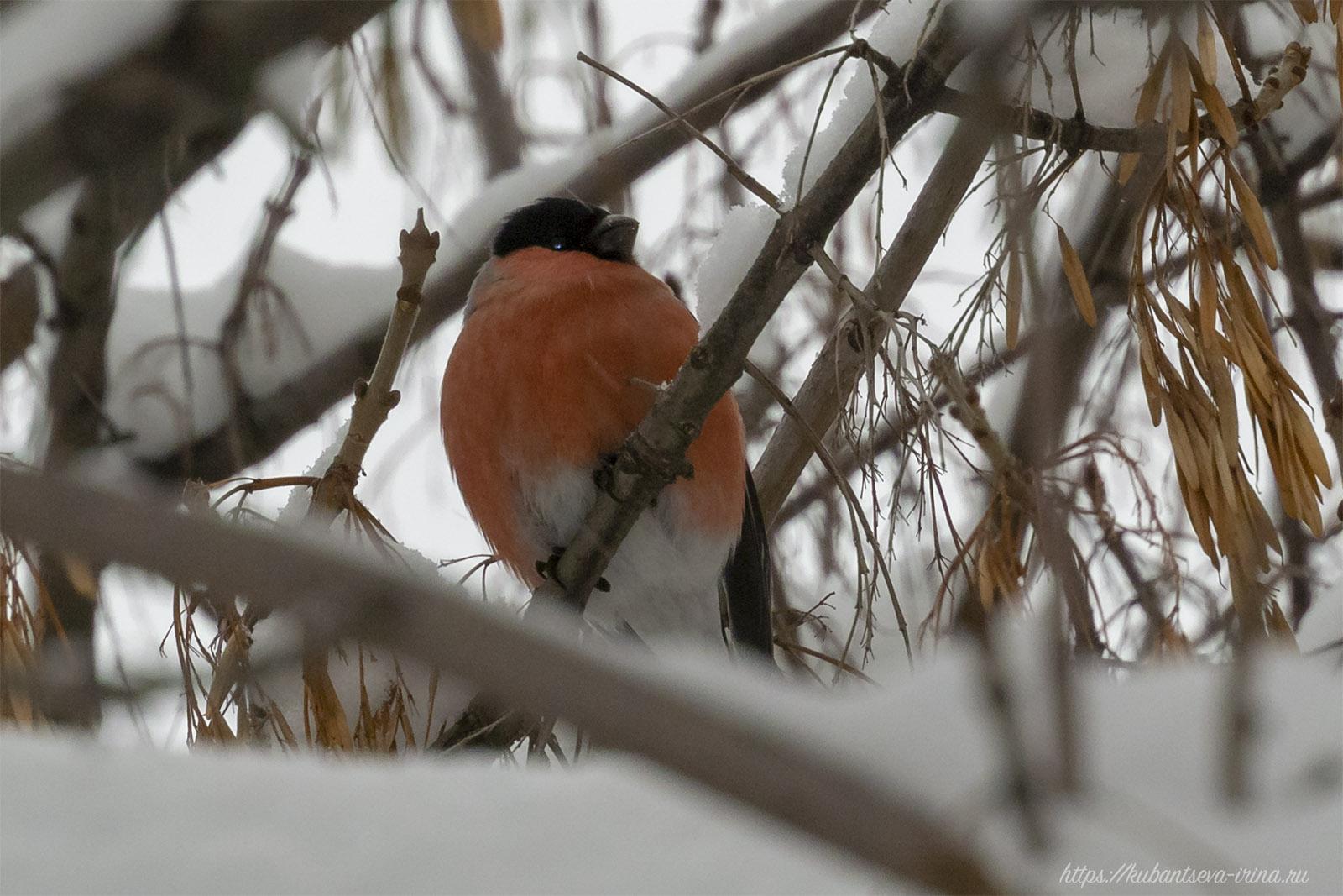 самец снегиря фото