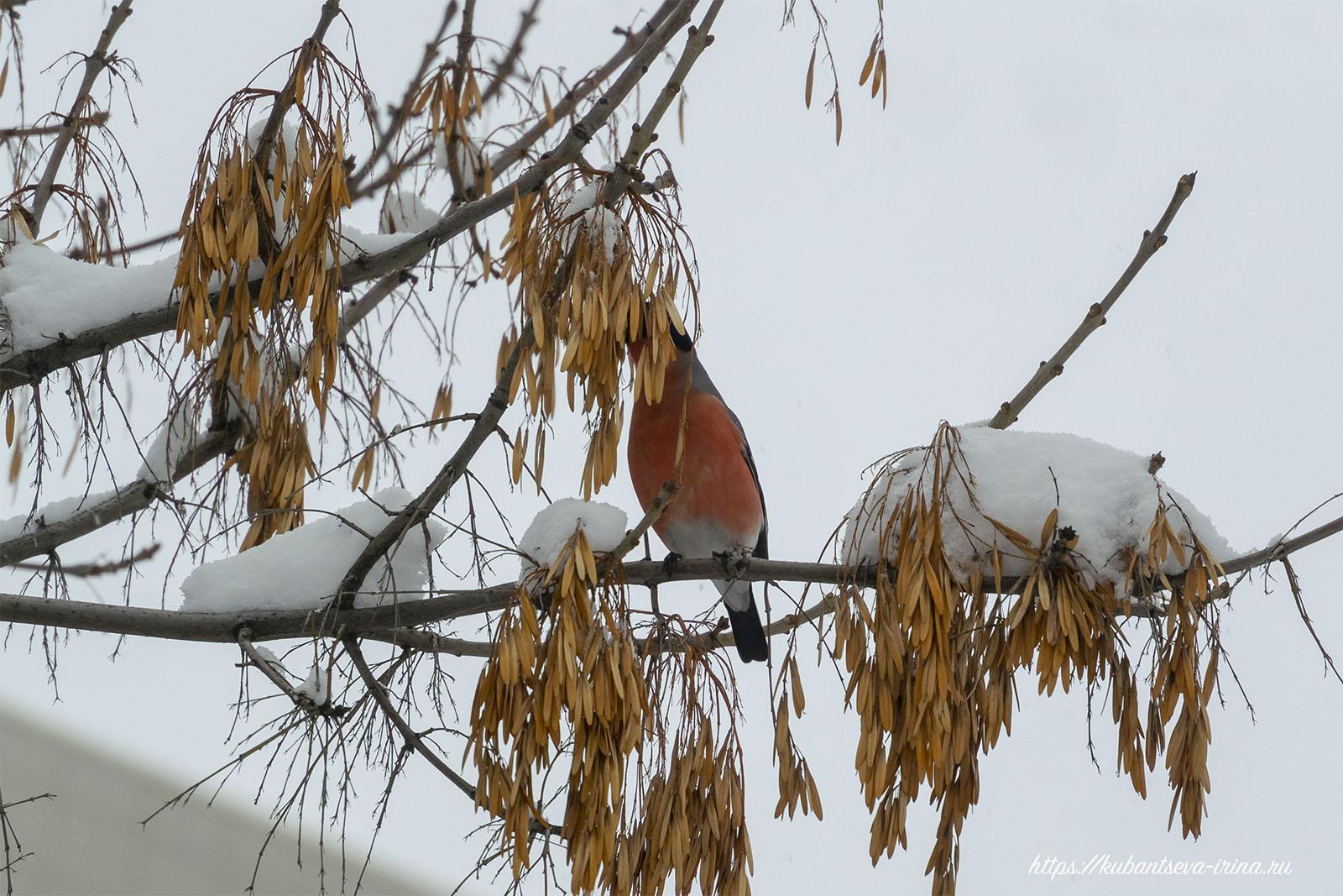 снегирь на ясене фото