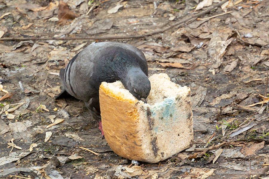 можно ли кормить птиц плесневелым хлебом