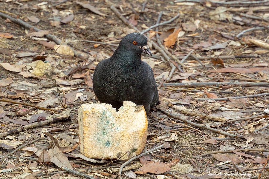 можно ли птицам плесневелый хлеб