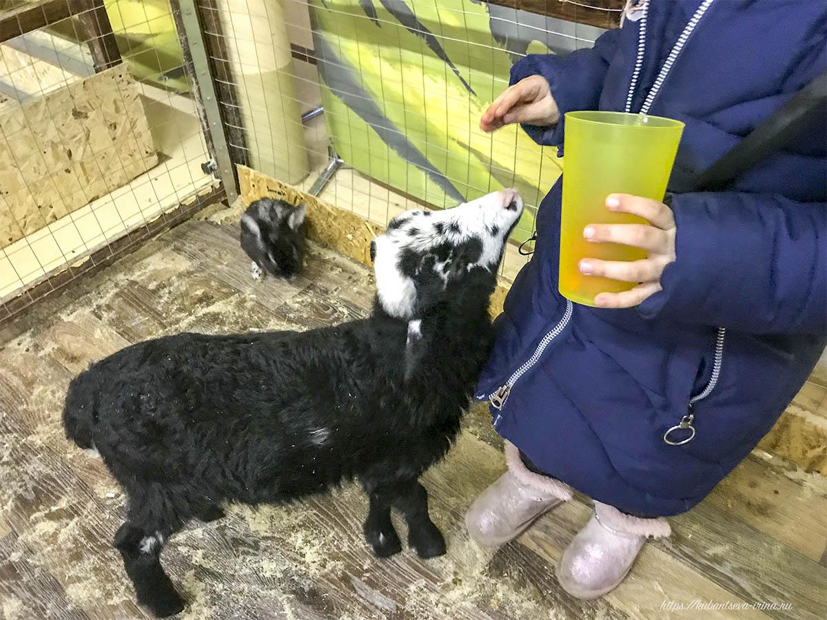 овцы в зоопарке