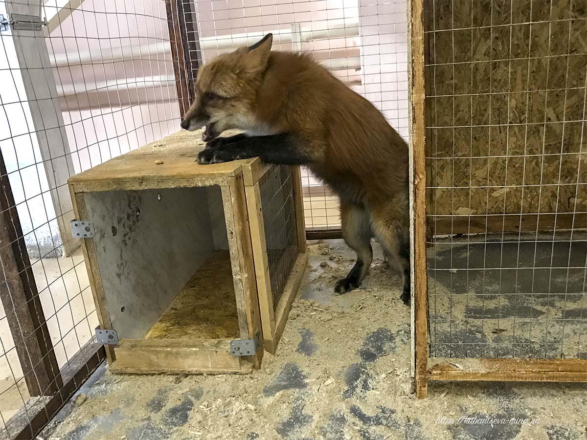 чем питаются лисы в неволе