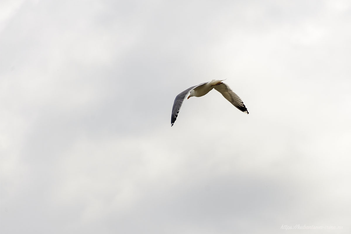полёт чайки