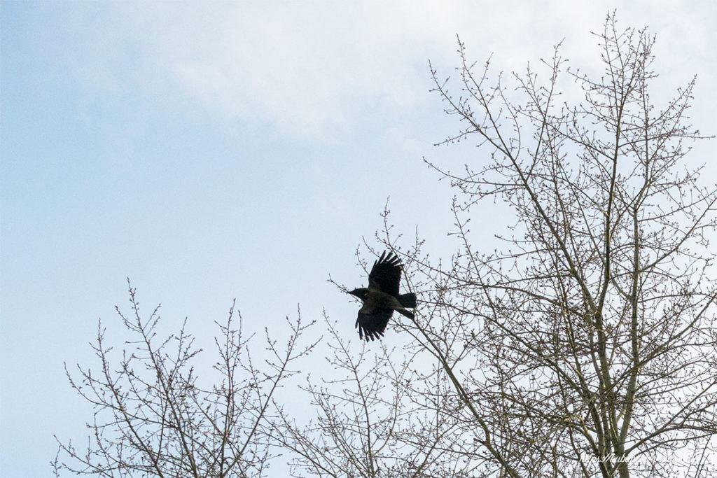 ворона в полёте