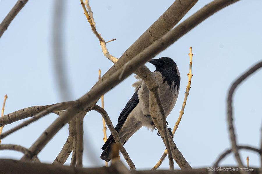 ворона городская