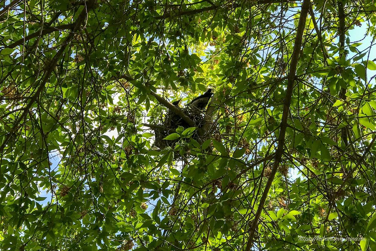 птенец ворона в гнезде