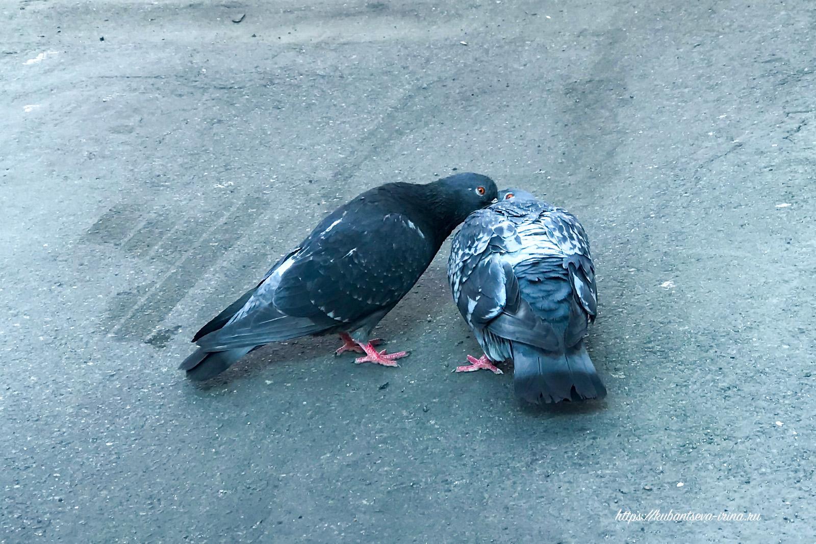любовь и голуби фото