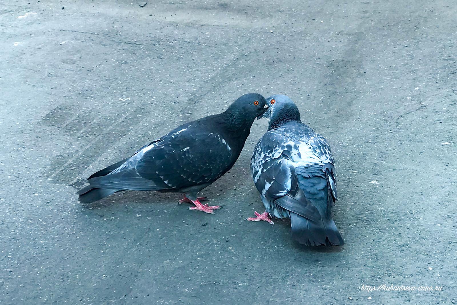 Голуби целуются фото