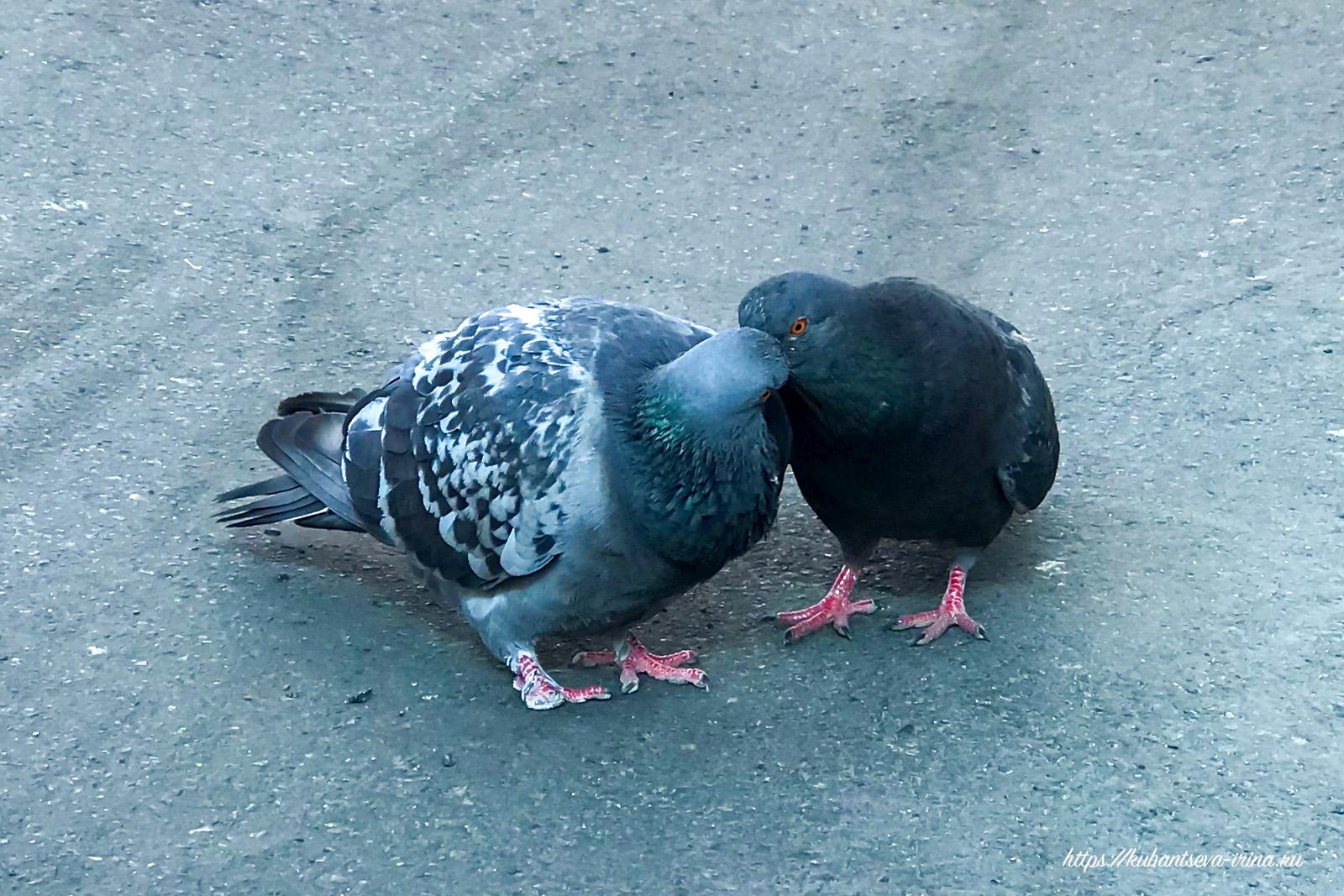 Поцелуй голубей фото