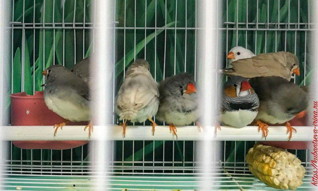 птички в клетке амадины фото