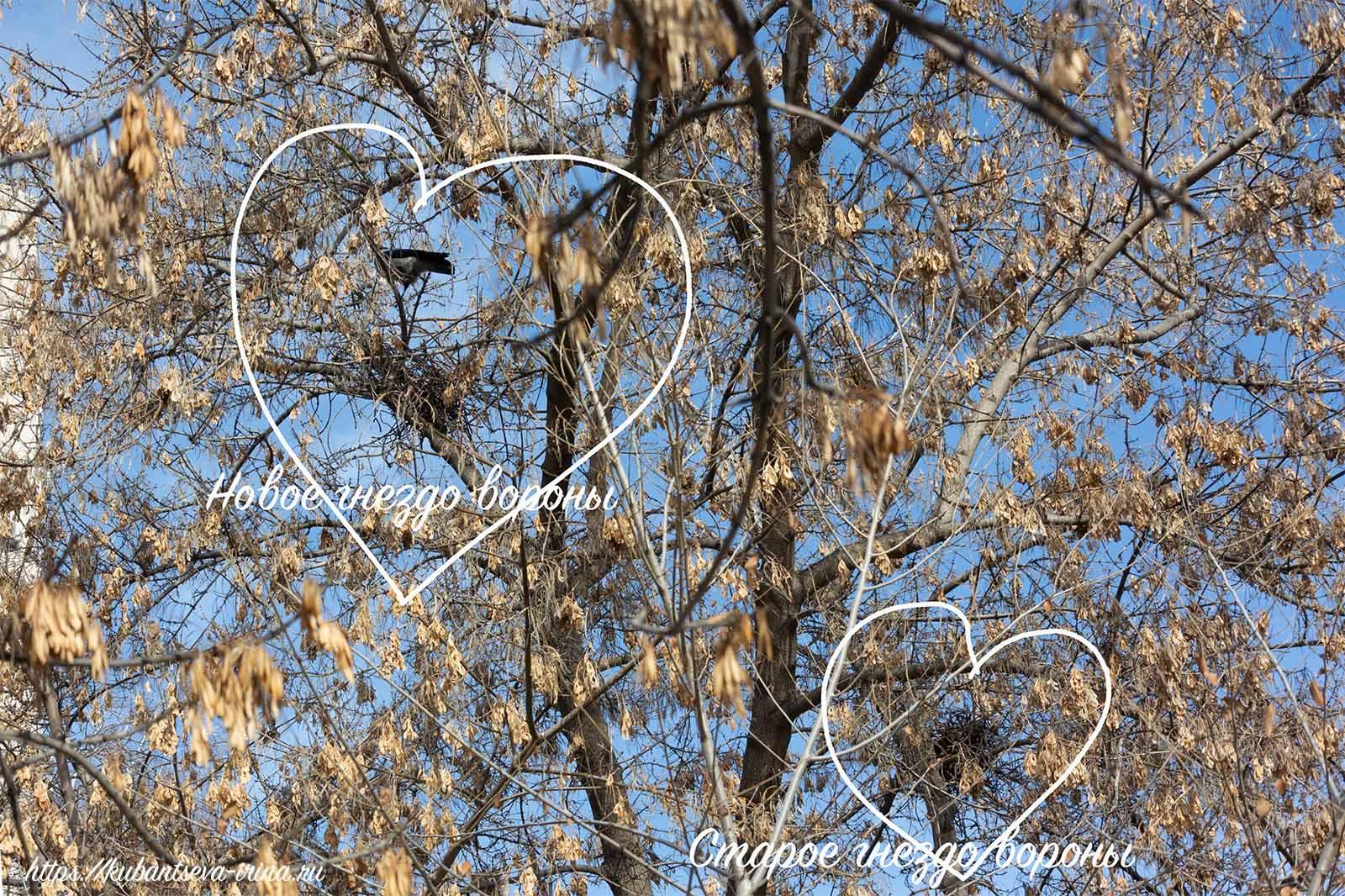 воронье гнездо вороны фото