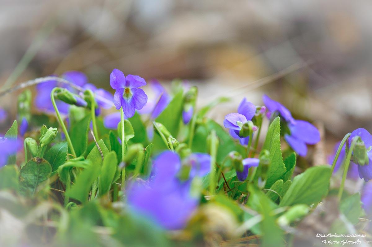 фиолетовые весенние цветы фото