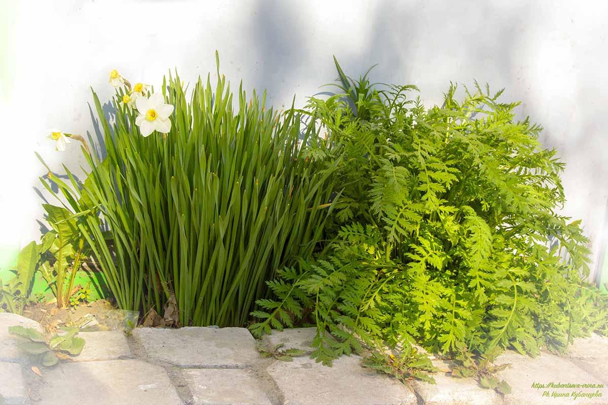 весенние цветы садовые многолетники фото