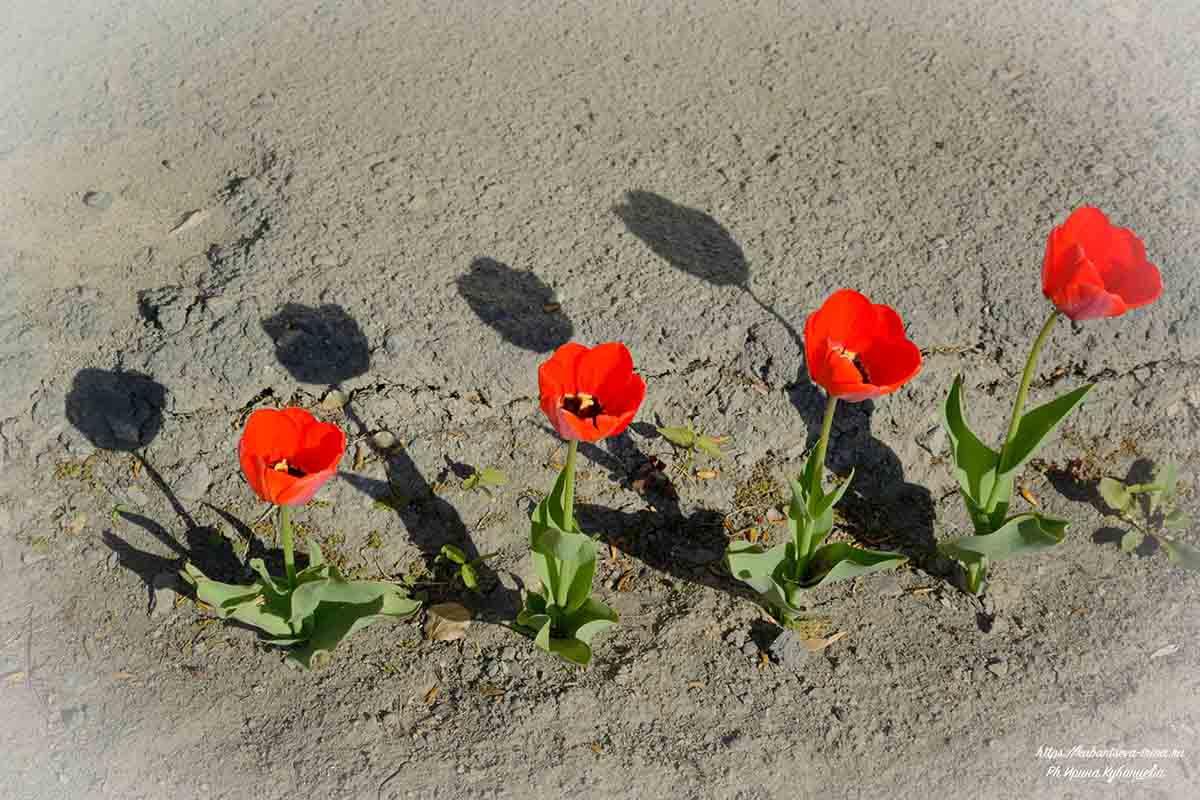 весенние цветы луковичные фото