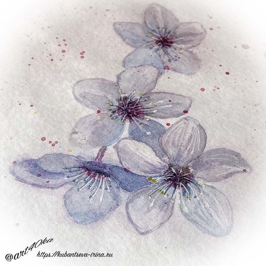 цветы вишни акварелью фото