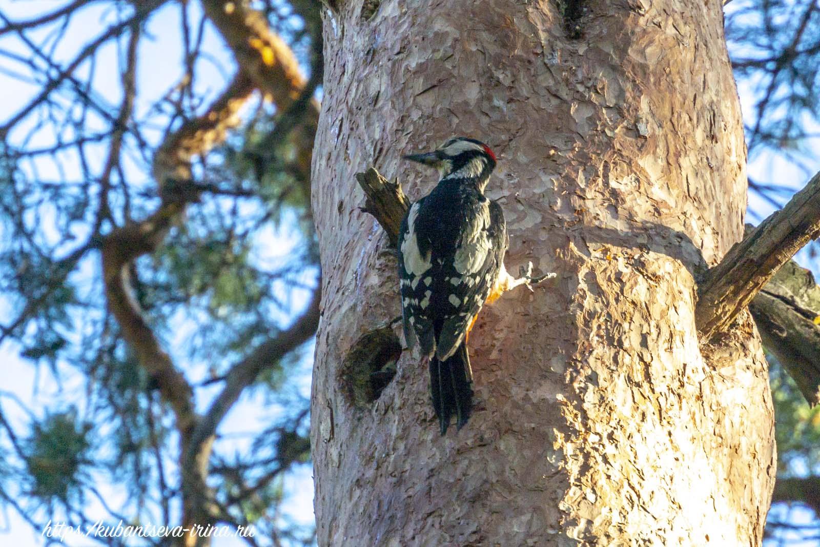гнездо дятла в дупле фото