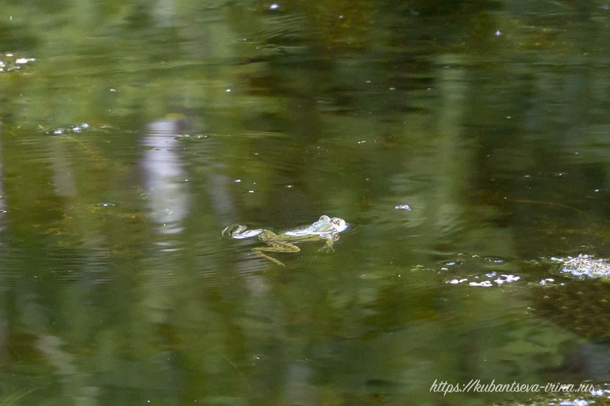 прудовая лягушка фото