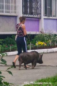 свиньи домашние питомцы