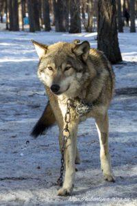 домашние питомцы волк